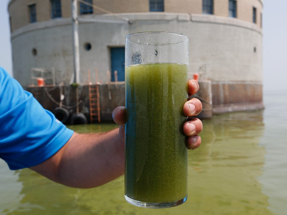 A glass of algae filled Lake Erie water
